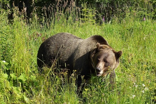 grizzly life.jpg